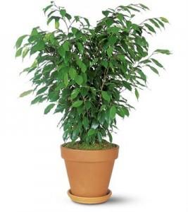 Ficus ben