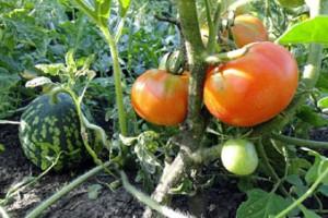 tomaty_i_baxcha